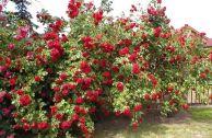 Роза Paul's Scarlet плетистая