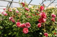 Роза плетистая «Брауни»