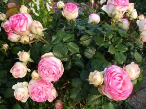 Роза отличается пышным и продолжительным цветением, крупными бутонами и нежной окраской цветков.