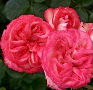 В полном роспуске цветок розы Antike демонстрирует красивую крестовидную серединку.