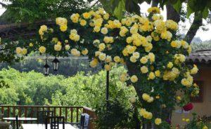В 1963 году сорт Casino удостоился высшей награды королевского розоводческого общества RNRS, а в 2001 году – звания лучшей плетистой розы на всемирной выставке во Флориде.