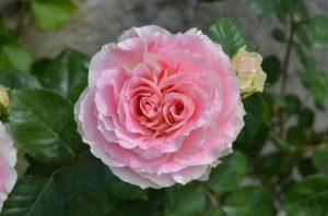 Пышный густомахровый цветок сорта Cesar обладает слабым, очень тонким ароматом, но в период обильного цветения весь куст пахнет довольно различимо.