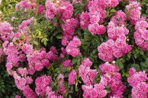 Оба сорта Дороти обладают яркими густомахровыми цветками, собранными в крупные кисти, однако у розы Super Dorothy они лучше держат дождь.