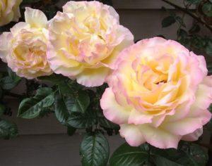 Цветок плетистой формы розы GloriaDei унаследовал все лучшие качества родительского чайно-гибридного сорта.