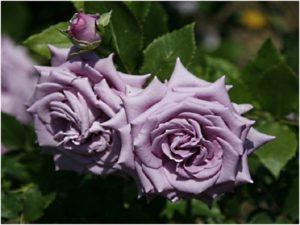 Indigoletta – сорт, характеризующийся продолжительным цветением. Последние цветки держатся на растении до снега.