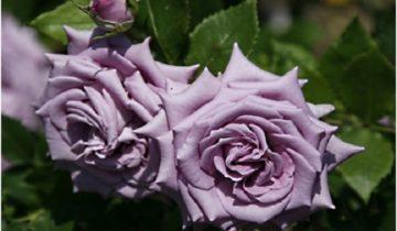 Характеристика и выращивание плетистой розы Индиголетта (Indigoletta)