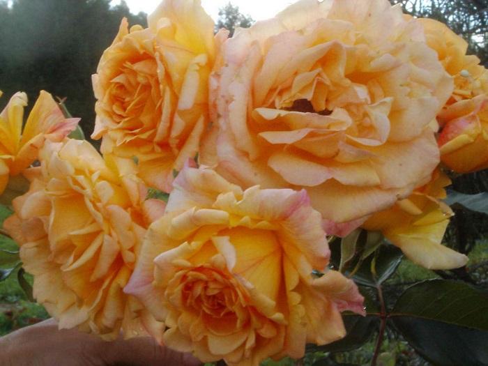 Роза Michka проявляет лучшие качества грандифлоры – крупноцветковость и обильность цветения.