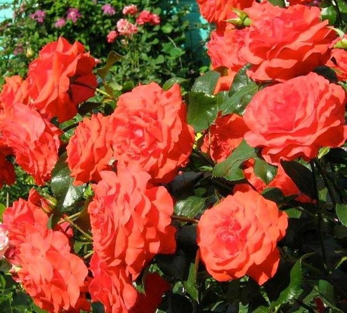 """Описание плетистой розы """"Салита"""" (Salita) с отзывами и уходом"""