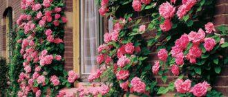 Сорта роз группы клайминг: описание и особенности