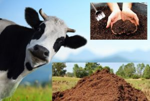 Свежий коровий навоз для удобрения роз не применяется – он должен подвергнуться предварительной обработке.