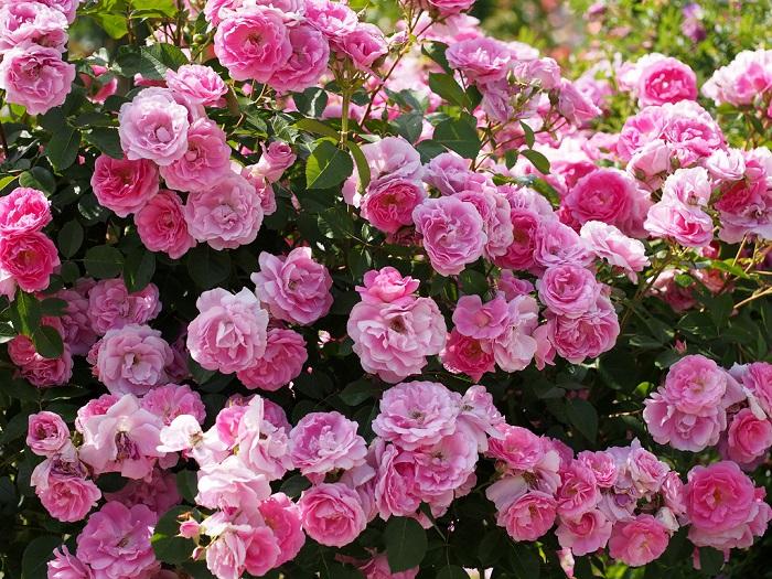 Теневыносливые розы: сорта и особенности ухода. При посадке роз в тени нужно смириться с тем, что даже у теневыносливых сортов обливного цветения не будет.
