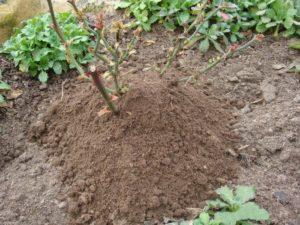 Земля для зимнего окучивания роз должна быть сухой, чистой и лёгкой.