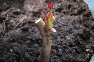 Подвоем называются растения-реципиенты, на которые подсаживается «донорская» почка привоя