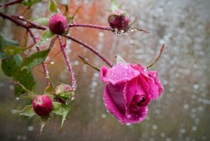 Для выращивания во влажном прохладном климате нужно выбирать сорта роз, устойчивые к дождю и недостатку солнечного света.