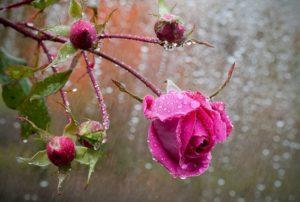 Для выращивания во влажном прохладном климате нужно выбирать сорта роз, устойчивые к дождю и недостатку солнечного света