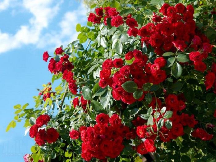 Деление куста и пересадка – хороший способ омоложения старой розы.