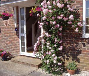 Посадка роз осенью: пошаговая инструкция. Плетистые розы будут хорошо себя чувствовать у южной стены дома.