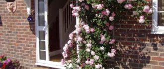 Посадка роз осенью: пошаговая инструкция