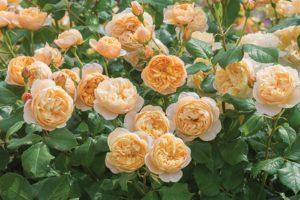 В отличие от старинных роз, английские имеют не только розовые и красные оттенки, но и множество других.