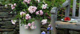 Выращивание роз в контейнерах