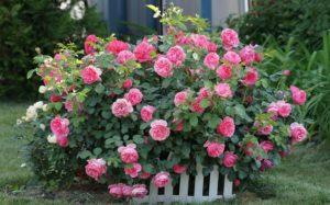Обрезка стимулирует рост боковых побегов и способствует пышному цветению.