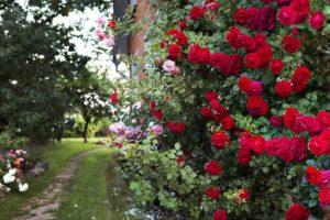 Правила полива садовых роз. Чем мощнее куст, тем больше воды расходуется на его полив