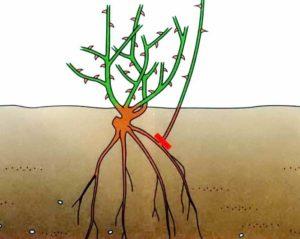 Розы на подвое могут давать дикую корневую поросль, что несколько усложняет уход.