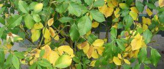 Пожелтение в результате дефицита азота происходит сначала на старых листьях