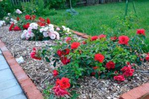 Бордюр из роз чаще всего высаживают миниатюрными розами.