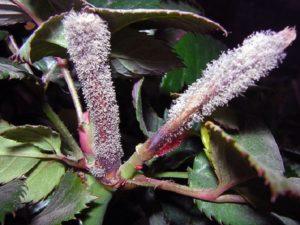 С наступлением тепла серая гниль стремительно распространяется по всему растению, появляется пушистая грибница серовато белесого цвета.