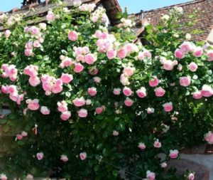 Сорт плетистой розы «Eden Rose 85».