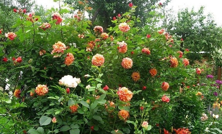 Сорт плетистой розы «Алоха» (Aloha).