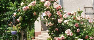 Как отличить плетистую розу от штамбовой, кустовой, простой, шиповника.