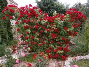 «Фламентанц» относят к полуплетистым розам, хотя, в реестр они занесены, как гибрид Rubiginosa. В четвертой и третьей климатической зоне цветет однократно, но продолжительное время больше месяца. В теплых регионах бутоны покрывают кусты от полутора до двух месяцев.