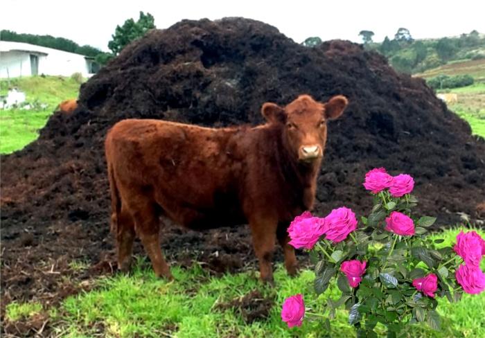 Лучшим перегноем для роз многие садоводы считают коровяк. Многие знаменитые питомники Европы отдают предпочтение этому виду органических удобрений.