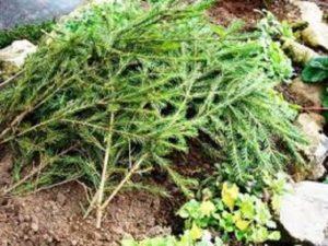 Многие садоводы сооружают для роз «домик» из еловых веток. Как и много лет назад это одно из лучших укрытий на зиму.