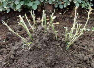 Что делать, если роза подмерзла. Для окучивания кустов используют почву, которой присыпают кусты полностью. При этом увеличивается защитный слой, который не позволяет холодному воздуху проникнуть к корням.