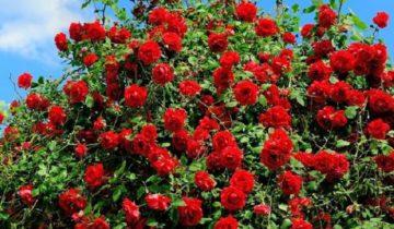 Что делать, если опадают листья на розах.Для обильного цветения нужно много света и тепла. Вместе с тем, роза страдает от солнцепека, листья обжигаются и засыхают