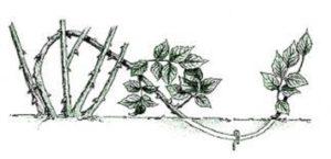 Чтобы укоренить гибкий побег розы, его достаточно поместить в землю