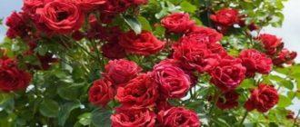 Роза «Симпатия» - плетистая: описание сорта