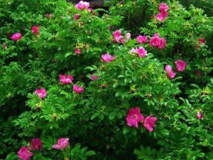 Для прививки штамбовых роз, чаще всего используют розу собачью - Rósa canína.