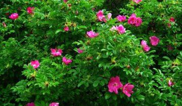 Как привить розу на штамб