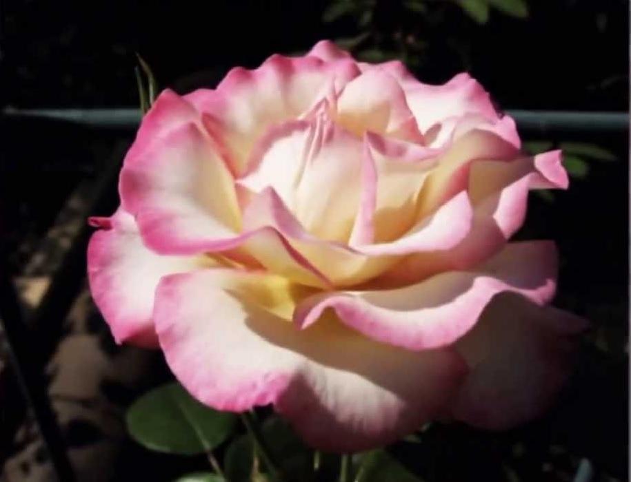 К моменту создания «Хендель», среди плетистых роз не было ни одного сорта с подобными свойствами.
