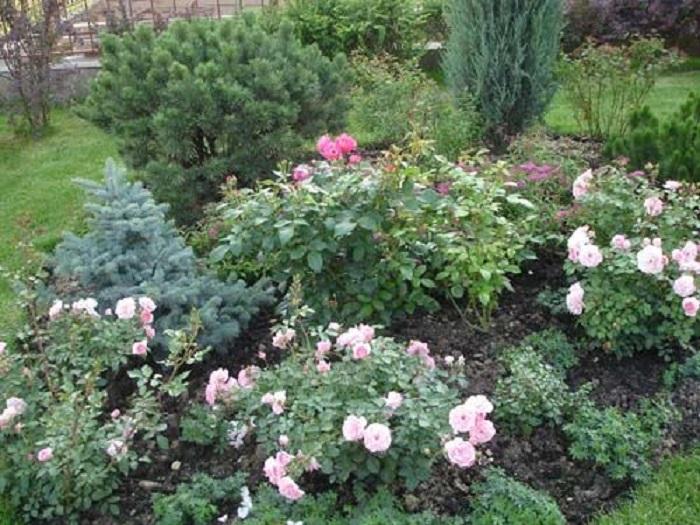 Миниатюрные розы с хвойными растениями украшают сад в любое время года.
