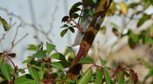 Возбудители инфекционного ожога роз начинают продвигаться по тканям при положительной температуре, стремительно заражая растение.