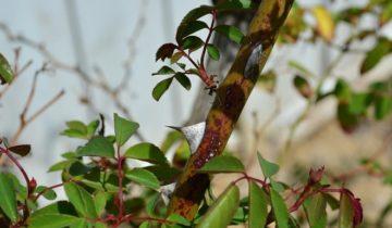 Инфекционный ожог роз (стеблевой рак)