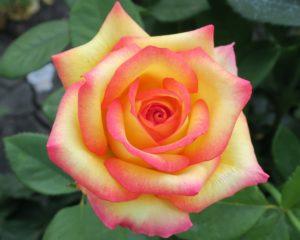 Знаменитый во всем мире сорт Peace – иначе называется Gloria Dei, Mme Antoine Meilland, Beke, Fredsrosen.