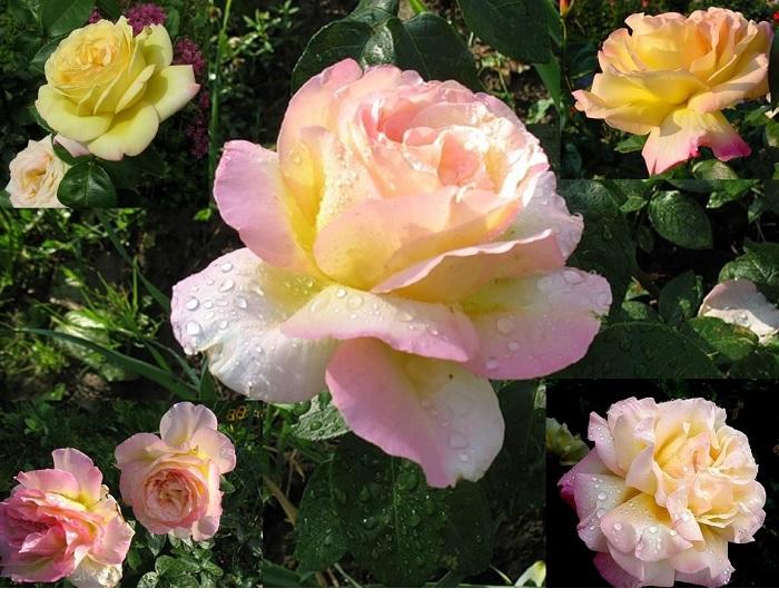 Сорт «Реасе» признан лидером розоводства во всем мире,является лучшим сортом роз для Подмосковья