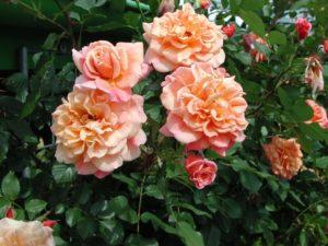 Сорт плетистой розы «Алоха» (2003 г.) отличается крупными цветками, которые меняю оттенок на разных стадиях распускания.