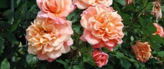 Роза плетистая – сорт «Алоха»